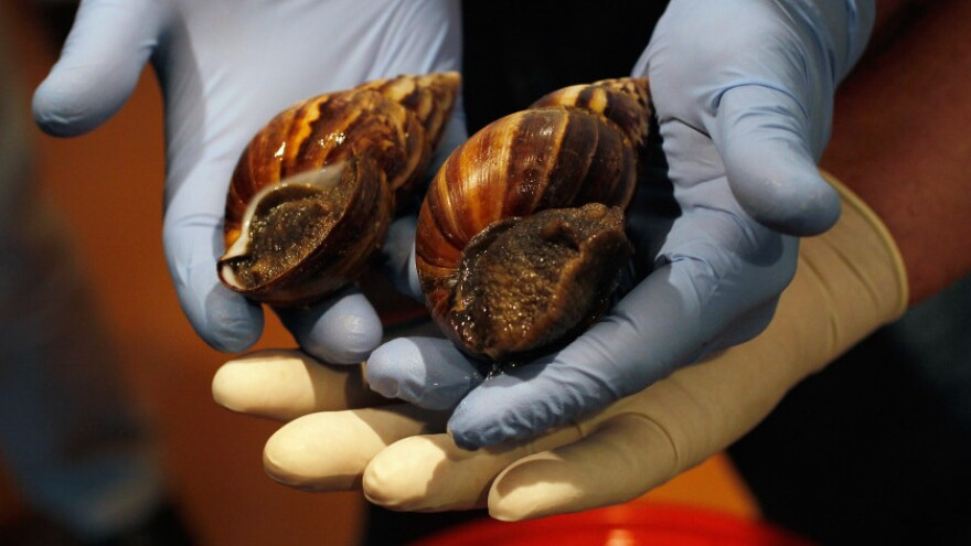 The invaders: Two Giant African Snails, in the hands of Florida Department of Agriculture and Consumer Services staffers on Thursday (Sept. 15, 2011).