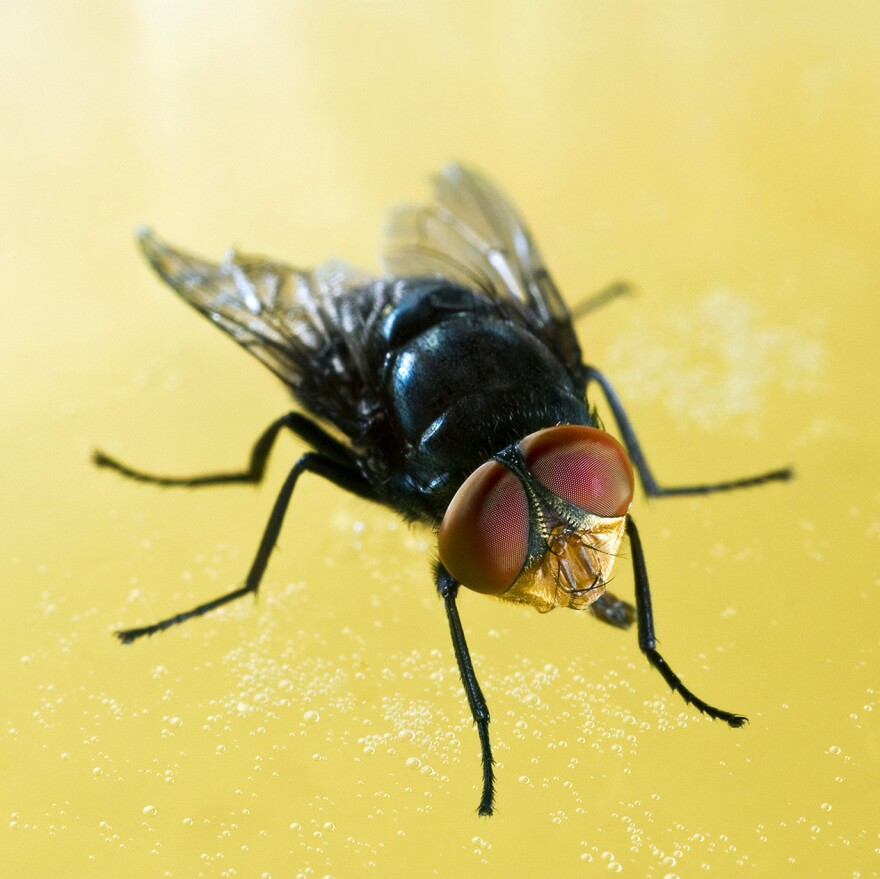 The screwworm fly is a cringeworthy creature.
