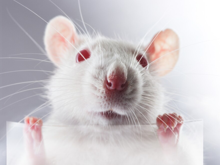 A young rat holds a transparent placard in its paws.