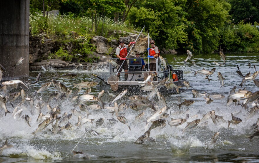 U.S. Fish and Wildlife officials navigate the Illinois River where there are jumping silver carp, a type of Asian carp.