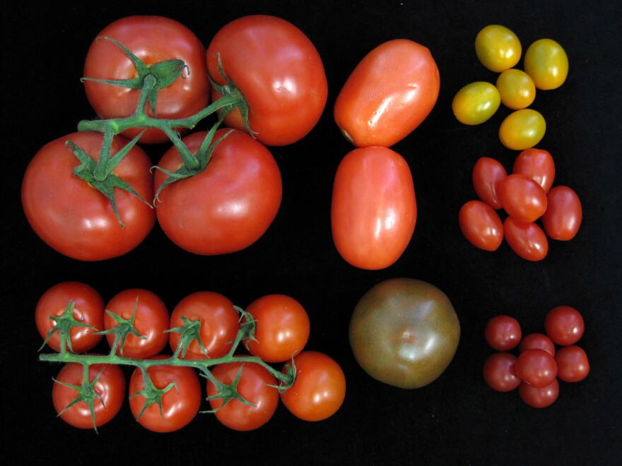 Researchers at Cold Spring Harbor Laboratory say their new genetic toolkit to improve tomato yield without compromising flavor can be used in all varieties, from plum to cherry.