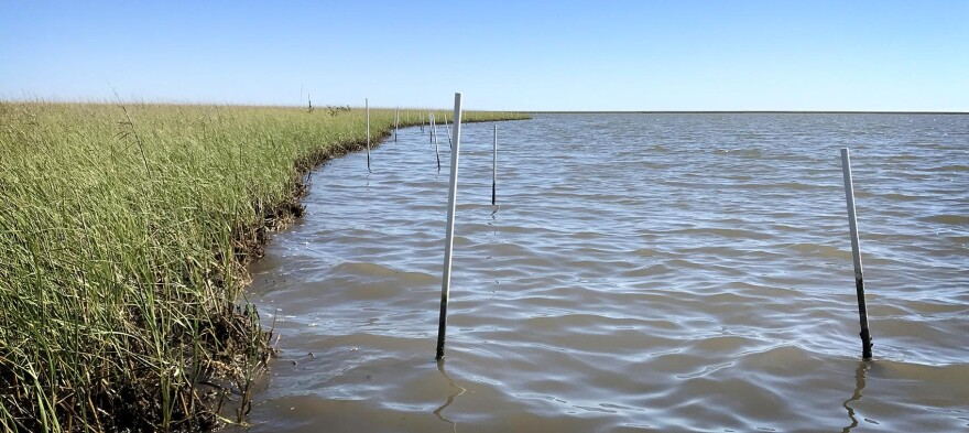 Tierra Resources, a wetland restoration company, planted plastic poles at the edge of the marsh more than a year ago. Now, the poles stand alone in the water — at least 6 feet from the shore. (Peter O'Dowd/Here & Now)
