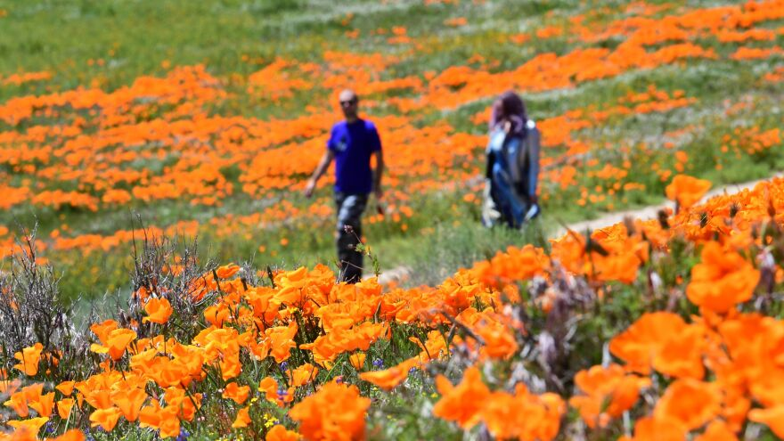 People visit poppy fields near the Antelope Valley California Poppy Reserve earlier this month in Lancaster, Calif.