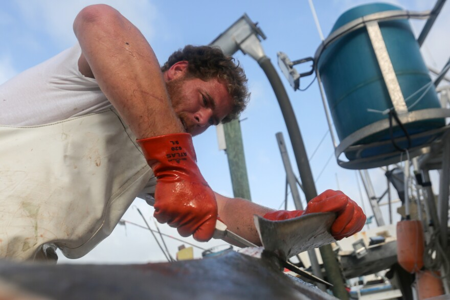 Fisherman Ed Zirkel cuts the fins off of a shark aboard the Miss Maggie in Madeira Beach.
