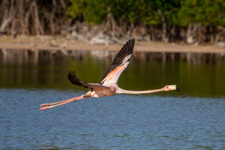 flamingo_flying_grassy_key_hedden.jpg