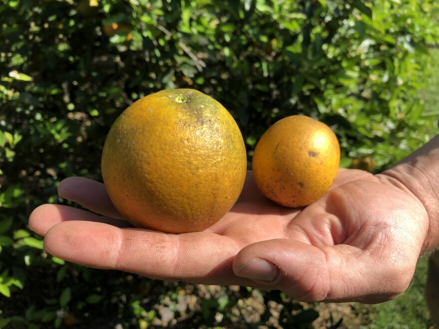 Citrus greening shrinks the size of oranges.