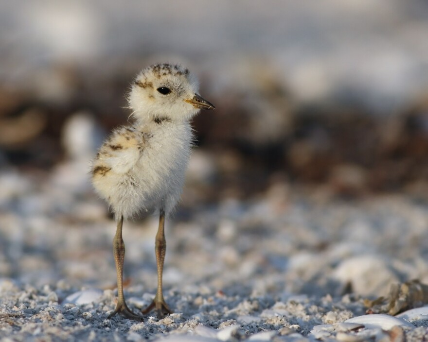 A snowy plover chick on a Florida beach. The numbers of the threatened species are rising after Hurricane Michael.