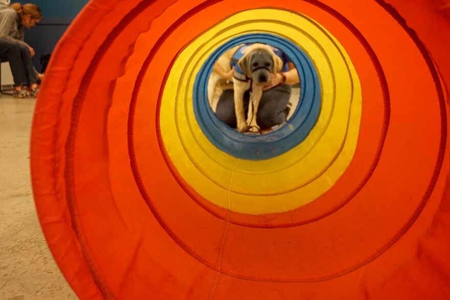At a Duo Dogs class, the trainer brings out a tunnel to help the puppies practice overcoming fear. One day, these dogs will be leading clients across things that are scary to the average dog, like a bridge or a crowded space.