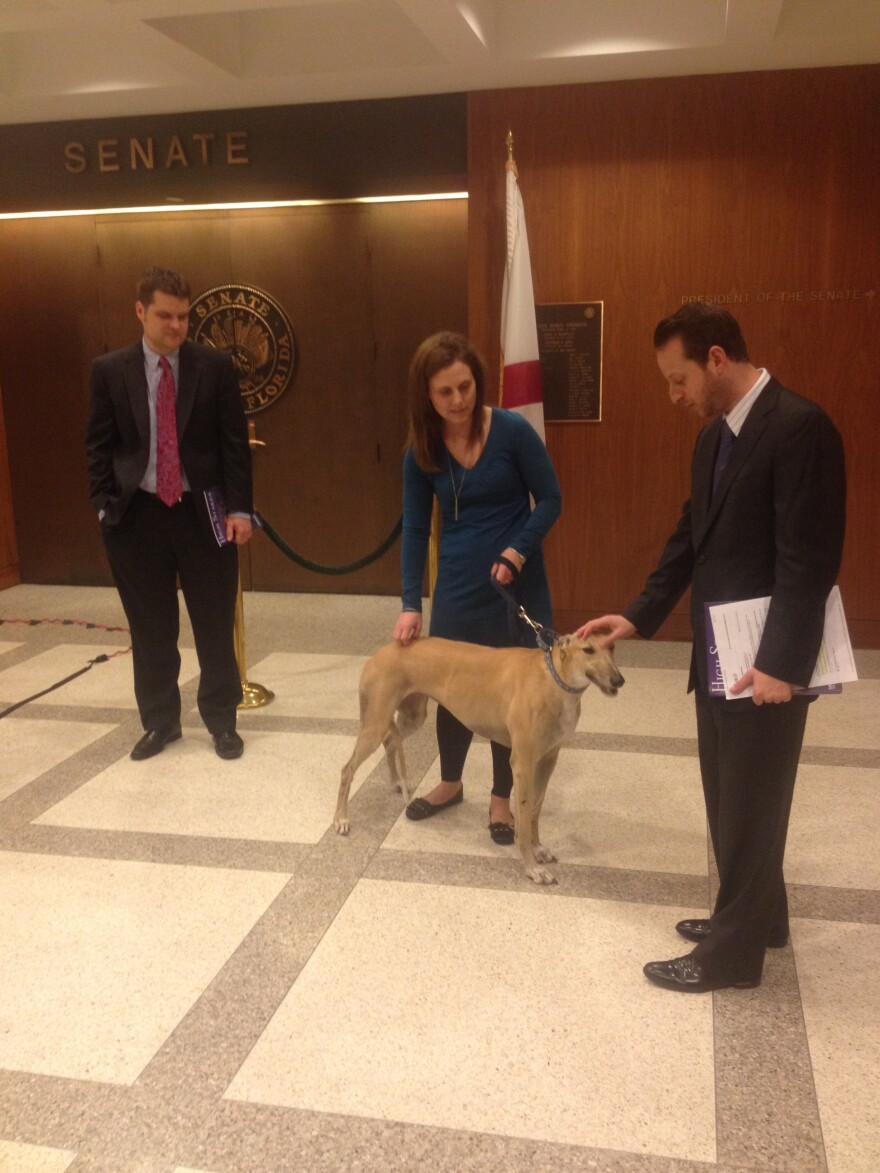 Rep. Matt Gaetz (R-Fort Walton Beach) looks on as Rep. Jared Moskowitz (D-Coral Springs) pets Ginger, a rescued greyhound, before the start of a press conference pushing for decoupling greyhound racing.