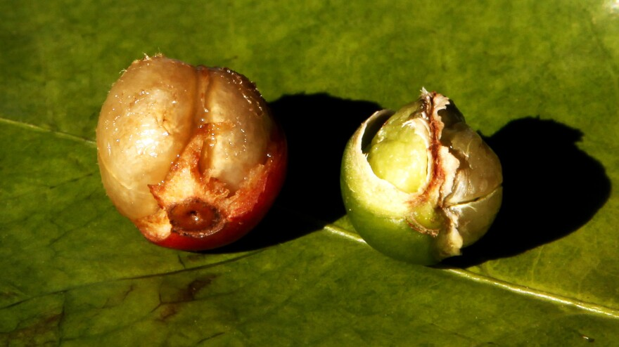 A fully formed coffee berry, left, is shown next to a damaged coffee berry due to drought, at a coffee farm in Santo Antonio do Jardim, Brazil on Feb. 6.