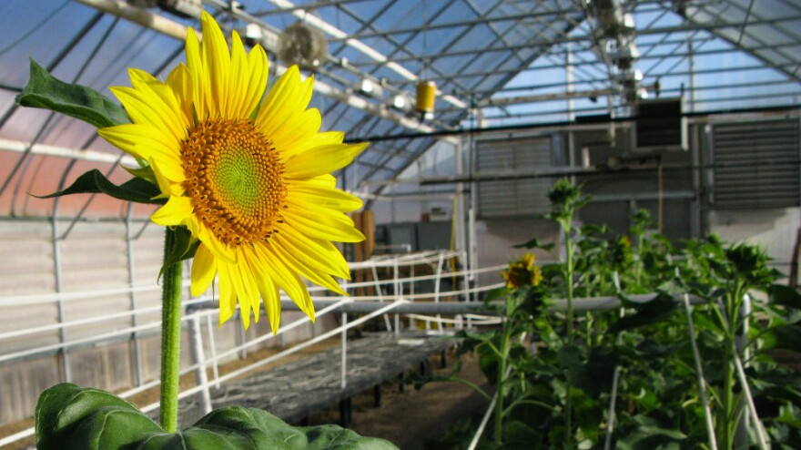 In his greenhouse, Brent Hulke is breeding sunflowers that produce oil that's dramatically lower in saturated fat.