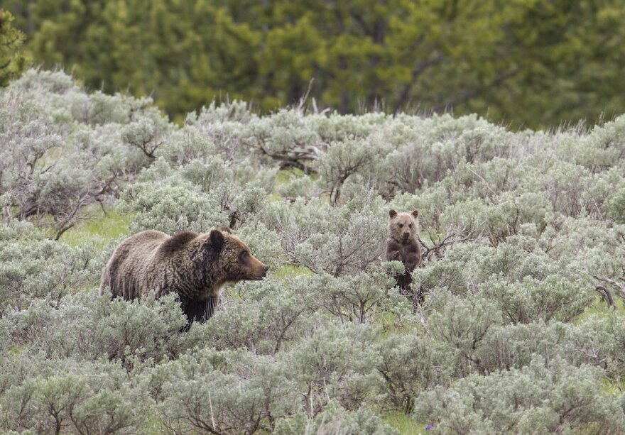 Grizzly bear sow and cub in Yellowstone National Park.