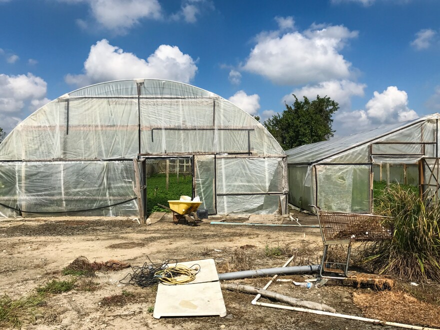 Water spinach farmers in Rosharon, Texas, are worried about the fallen beams and torn plastic sheeting for their greenhouses as winter approaches.