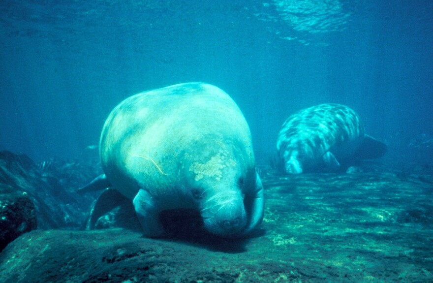 Manatee swims in water.