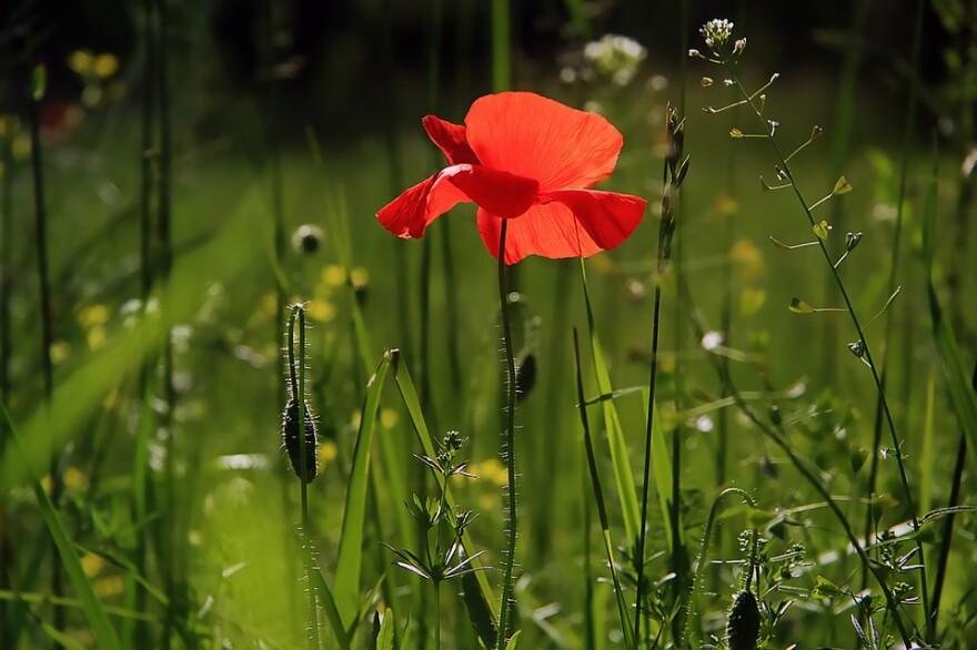 garden_flower_poppy.jpg