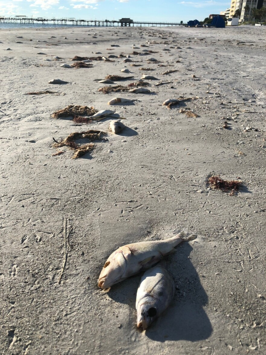North Redington Beach sees effects of red tide as dead fish wash up onto shore.