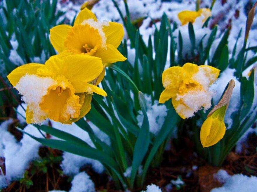 snow_covered_daffodil_flowers___west_virginia___forestwander.jpg
