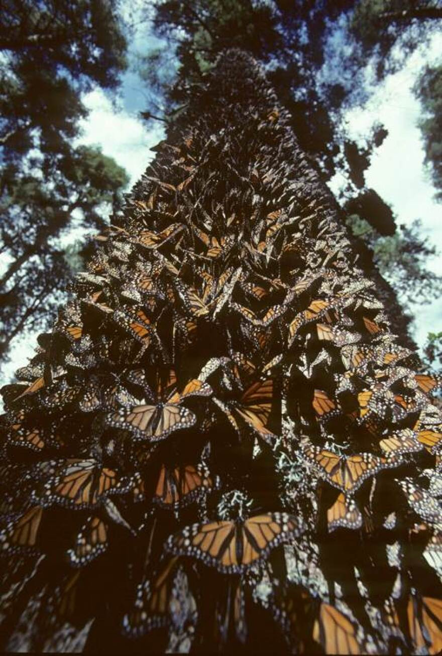 Monarchs_on_a_tree_trunk.jpg