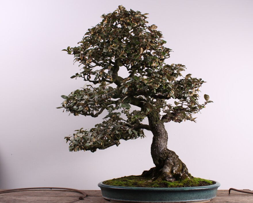 The silverberry was created by a female bonsai artist, Kiyoko Hatanaka, in 1946. Female bonsai artists were historically less common than male ones, which makes this tree rare. It was stolen on Sunday from a museum just outside Seattle.