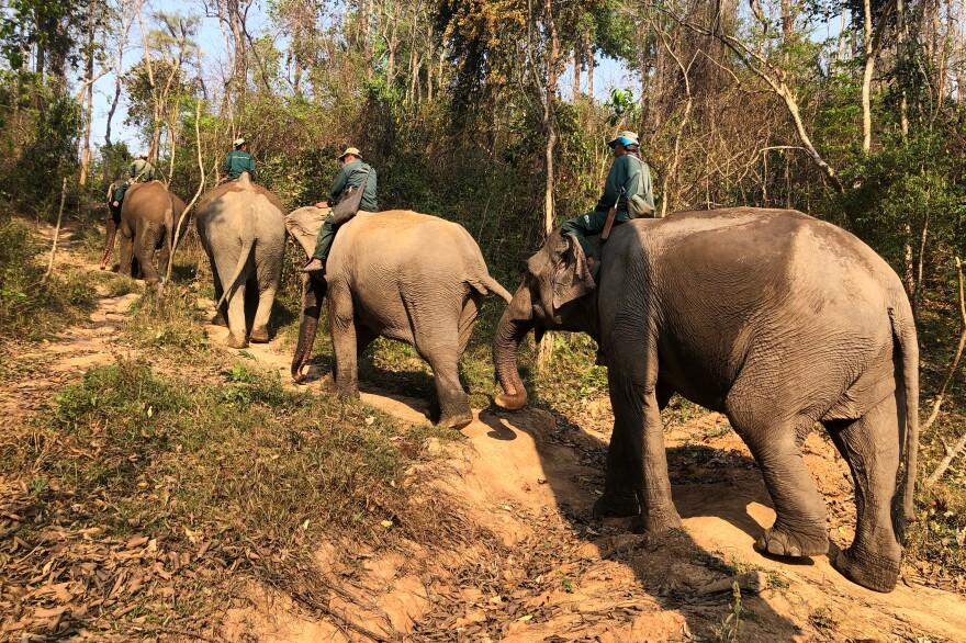 Mahouts lead their elephants into the forest for a rest. At night, the elephants are put on a chain that is long enough to allow them to reach food and water but not escape. This is the only time the elephants are chained at the conservation center.