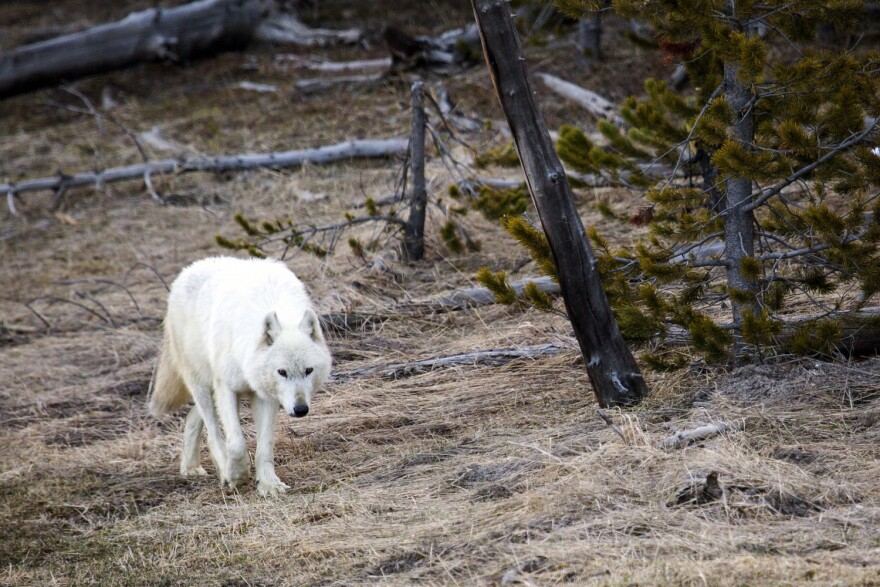 In this April 6, 2016, file photo provided by the Yellowstone National Park Service, a white wolf walks in Yellowstone National Park, in Wyo. (Neal Herbert/Yellowstone National Park via AP)