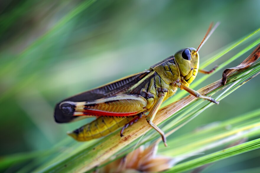 Nutrient-deficient grass could be leading to a decline in the number of grasshoppers, according to a new study.