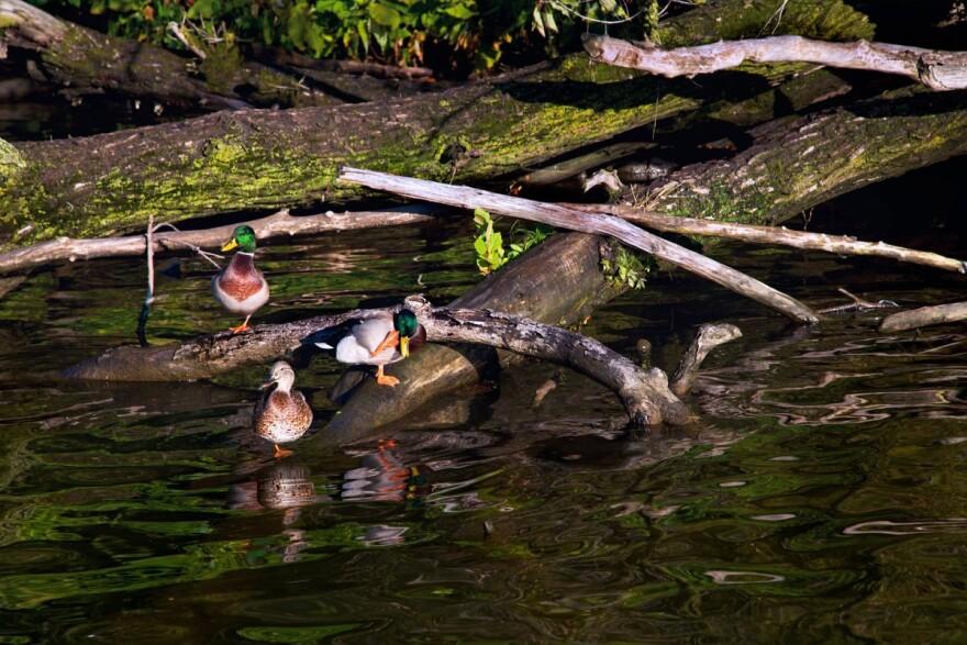 Ducks on the Ohio River