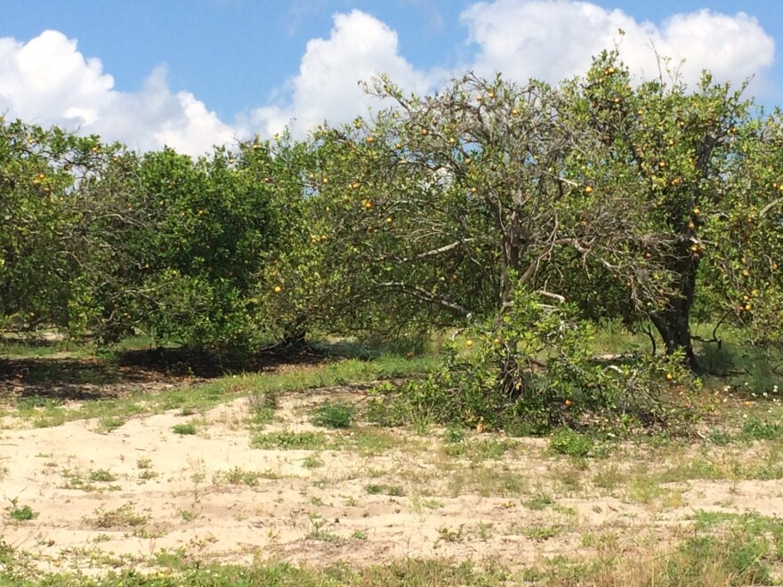 A dying citrus grove in Lake Alfred