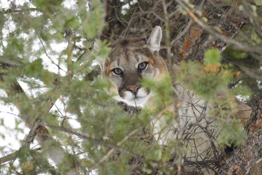 cougar_mountain_lion_2018_nps.jpg