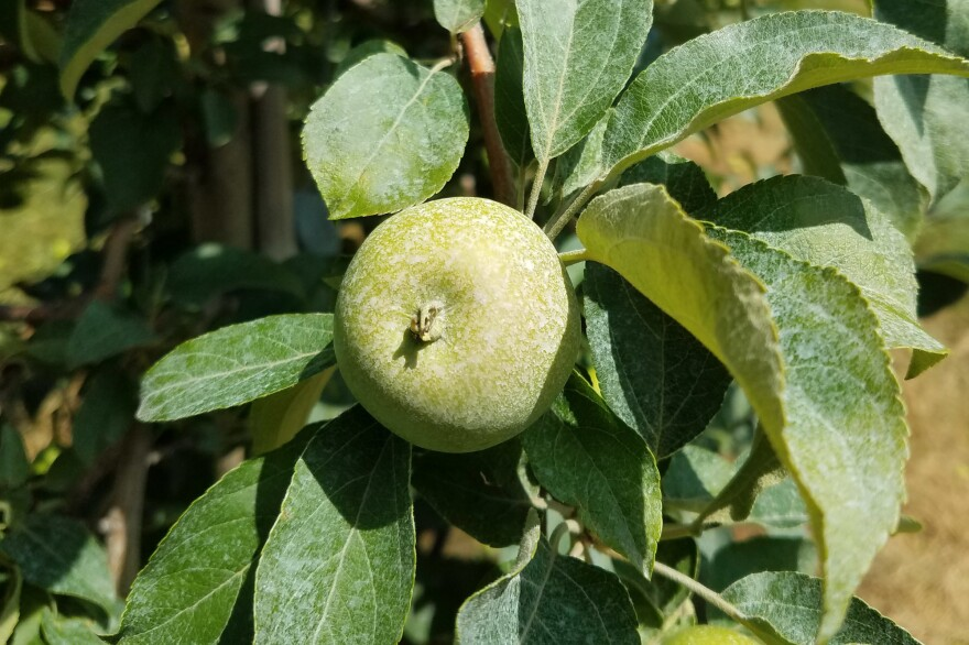 Honeycrisp apples in Schwallier's orchard have been sprayed with calcium carbonate, a white substance that protects the apples from sunburn.