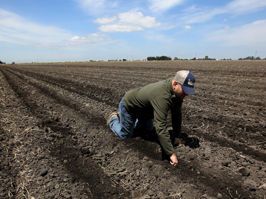 A photo from May shows Gino Celli checking his parched crops near his farm near Stockton, Calif. If predictions of a strong El Niño prove true, it could presage a relief from the region's prolonged drought.