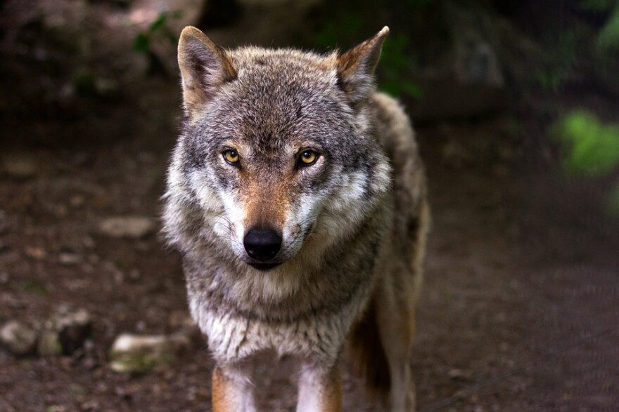 wolf_staring.jpg