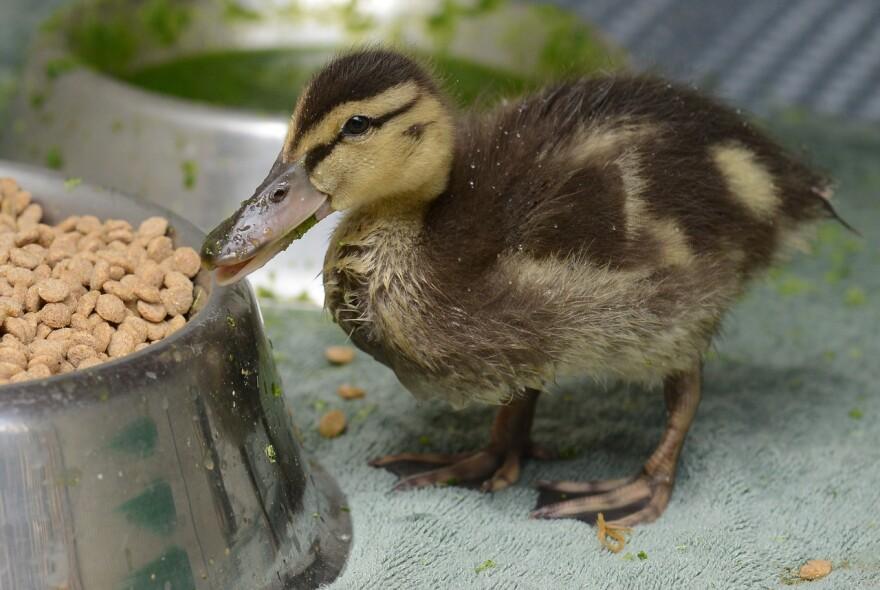 duckling_molly_tobin_300k.jpg