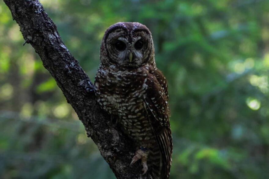 ca_spotted_owl-sm.jpg