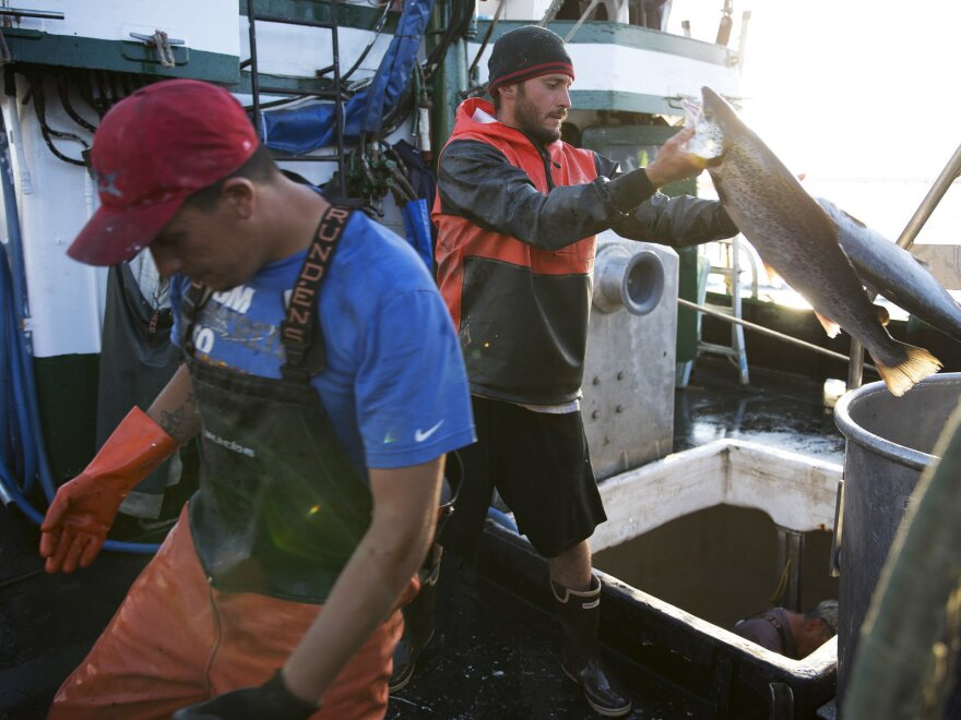 Aboard the fishing vessel Marathon, Nicholas Cooke (left) and Nathan Cultee unload 16 farm-raised Atlantic salmon into a container in Bellingham, Wash.