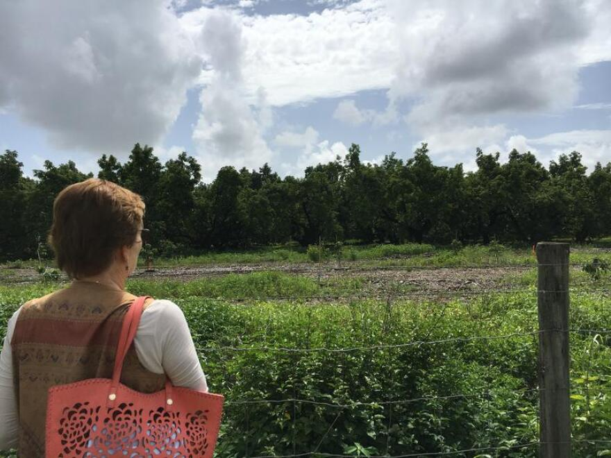 Once laurel wilt takes a hold of a tree there is no cure, so many farmers in Homestead have had to kill and remove acres of avocado trees.