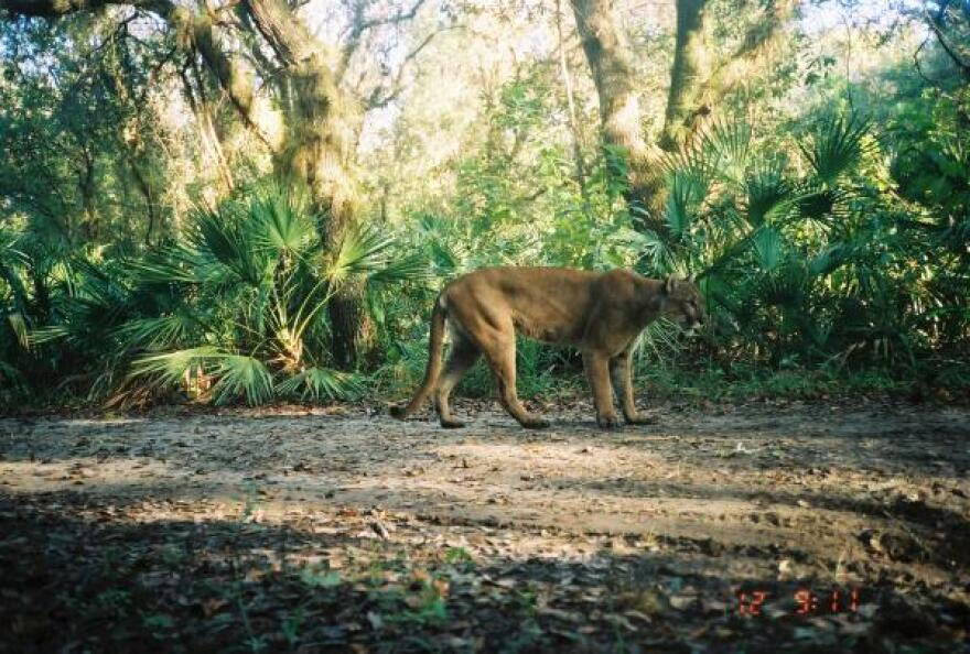 A male Florida Panther at a refuge in Southwest Florida.