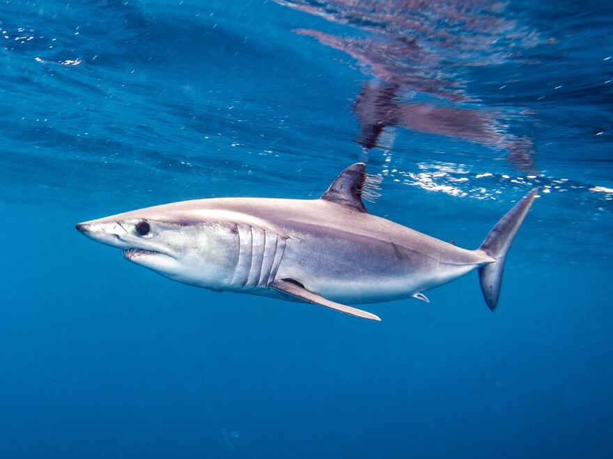A Pacific shortfin mako shark off the coast of San Diego. A seafood supplier outside Chicago says he has never seen such high interest in shark meat as he has this year.