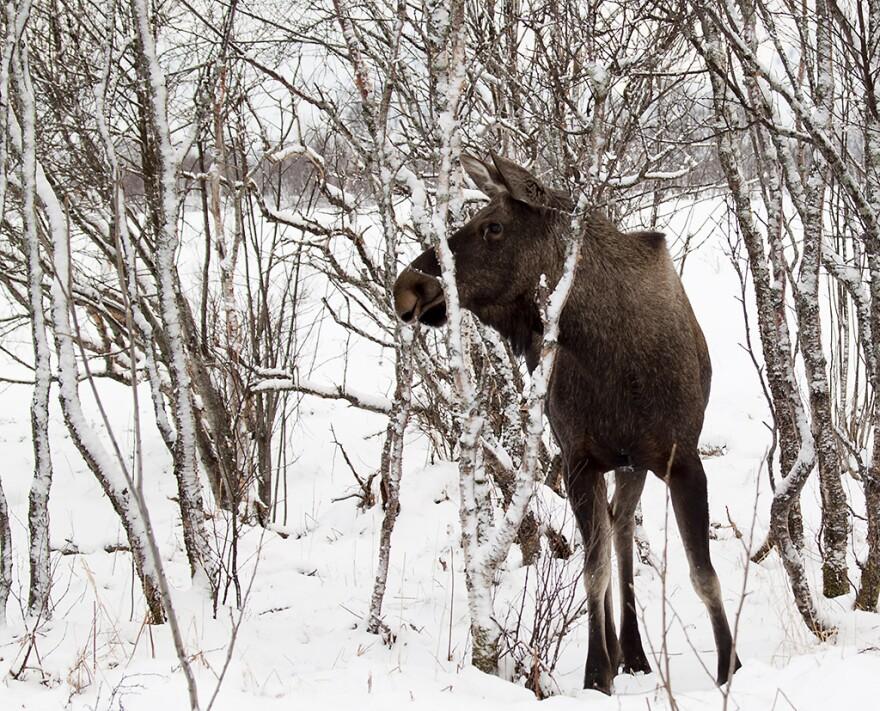 moose_norway_20110322.jpg