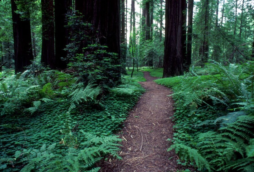 Image of a trail in the redwoods.