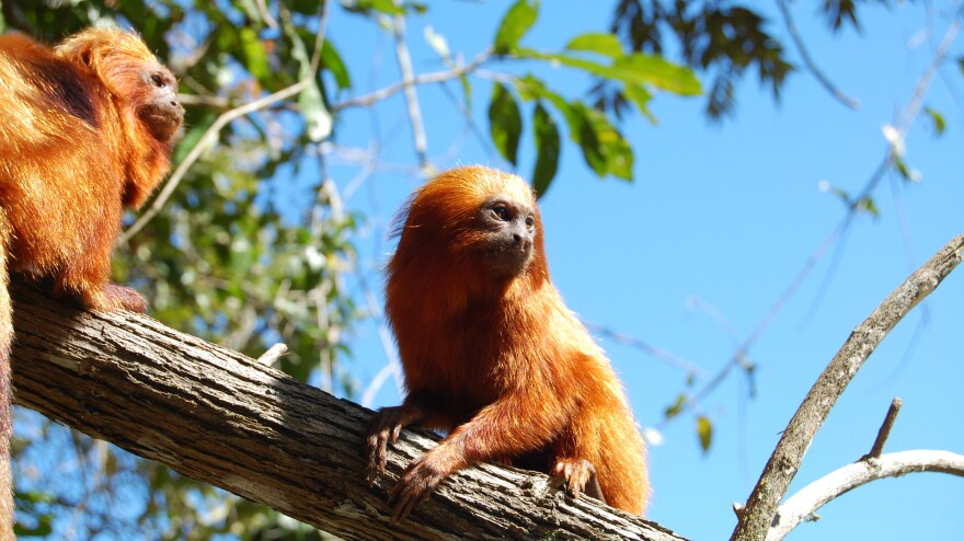 The wild population of the golden lion tamarin, which lives only in Brazil's Atlantic Forest, fell to just 200 in the 1970s. Conservationists have helped the species rebound, but the monkeys are still at risk as development encroaches on their remaining habitat.