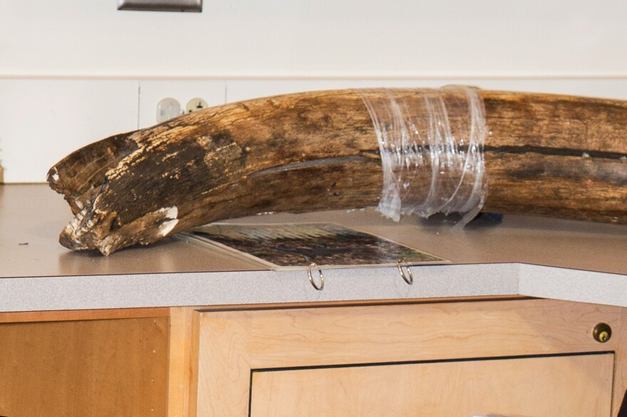 The 10,000 year old mammoth tusk at the Campbell Creek Science Center in Anchorage before it was stolen.