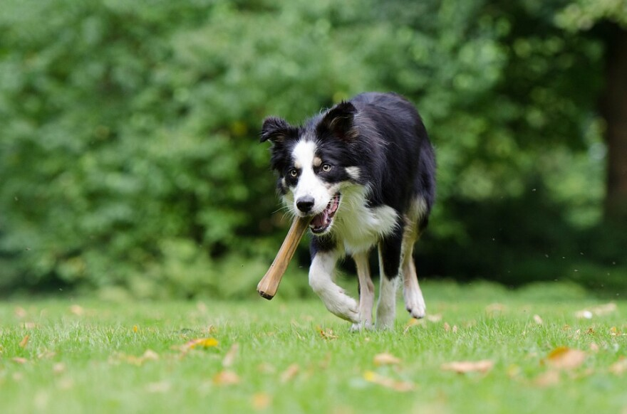 dog_border_collie_with_stick.jpg