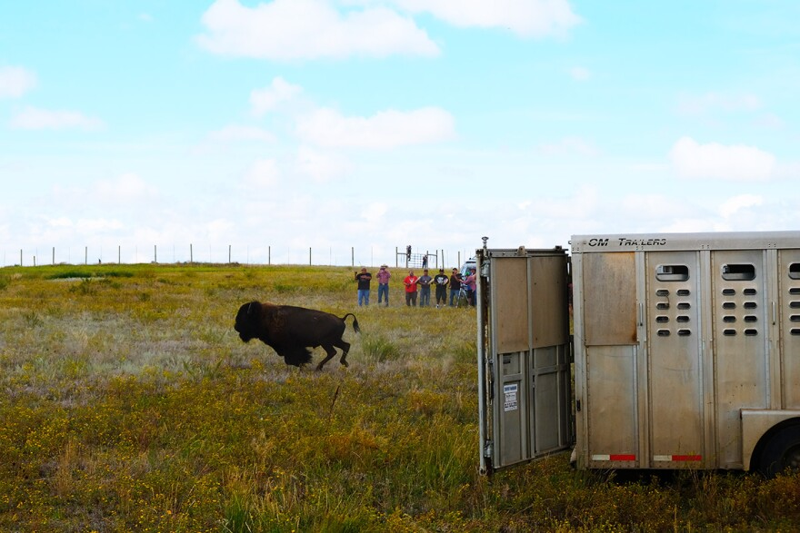 A bull bison jumps out of a trailer at the quarantine facility at Fort Peck Indian Reservation, Montana, August 23, 2019.