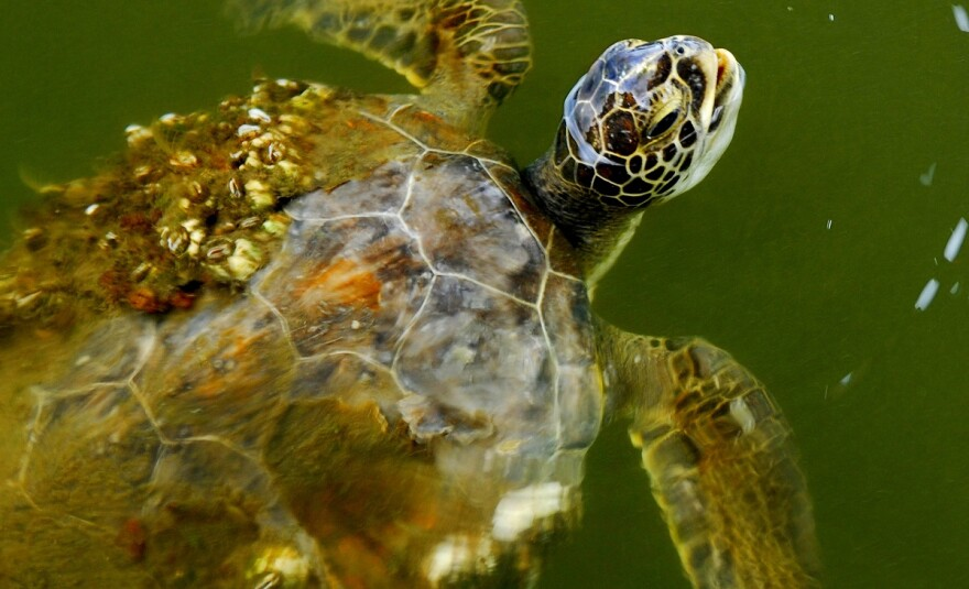 green_turtle__chelonia_mydus__at_the_indian_river_lagoon_-_flickr_-_andrea_westmoreland.jpg