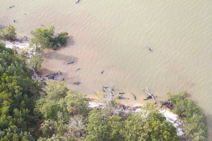 Authorities say 81 false killer whales died after their pod became stranded near the Everglades' Hog Key this weekend.
