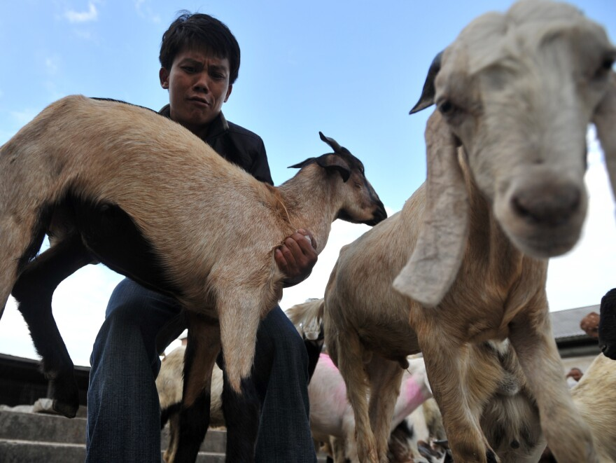 A Nepali selects a goat to sacrifice for the Hindu festival of Dashain.
