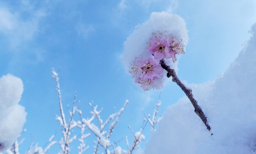 A snow-covered cherry blossoms at the Yuyuantan Park in Beijing, China.