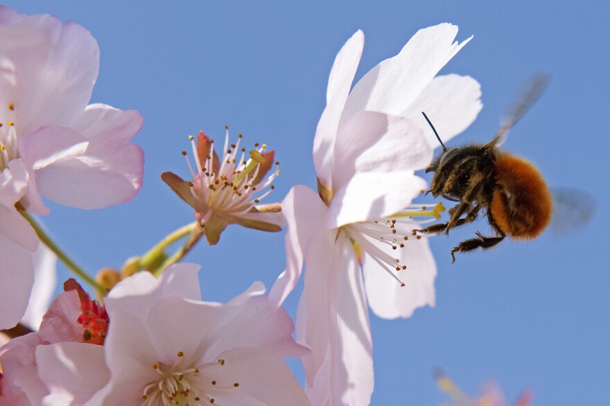 A bumblebee lands at blossoms of flowering cherry trees during springlike temperatures in Erfurt, Germany, Sunday, April 7, 2019. (Jens Meyer/AP)