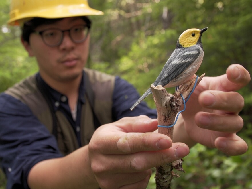 Oregon State University doctoral student Hankyu Kim sets up a decoy of a hermit warbler. Songbird populations have been declining, and rising temperatures are one reason.